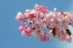 filialblomning sakura (Vår) Arkivfoton