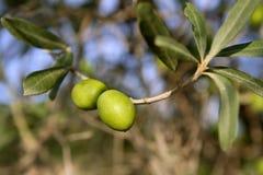 filialdetaljer som växer olivgrön Royaltyfri Bild