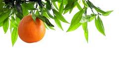 Filiale arancione Fotografia Stock
