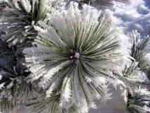 Filiale congelata del pino Fotografia Stock Libera da Diritti