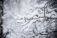 Filiale coperta di neve Immagine Stock