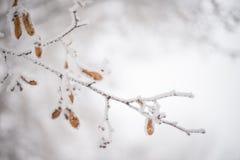 Filiale coperta di neve Immagini Stock