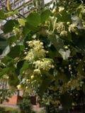 Filiale dei fiori del linden Immagini Stock