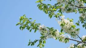Filiale dei fiori di ciliegia archivi video