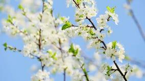 Filiale dei fiori di ciliegia stock footage