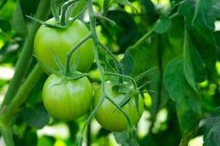 Filiale dei pomodori verdi Comcept di agricoltura Immagini Stock