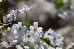 Filiale del ciliegio in primavera Immagini Stock Libere da Diritti
