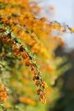 Filiale del crespino in fiore Fotografie Stock Libere da Diritti