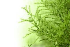 Filiale del Cypress immagini stock libere da diritti