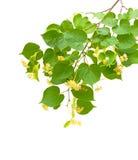Filiale del fiore del Linden isolata su priorità bassa bianca Fotografie Stock Libere da Diritti