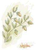 Filiale del jojoba con la frutta. Stile dell'acquerello. Fotografia Stock