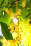 Filiale del Laburnum con i fiori Fotografie Stock Libere da Diritti