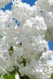 Filiale del lillà bianco Fotografia Stock Libera da Diritti