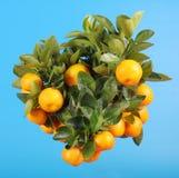 Filiale del mandarino Fotografia Stock