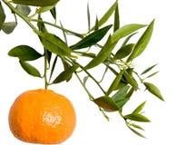 Filiale del mandarino Fotografia Stock Libera da Diritti