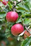 Filiale del meleto Con la frutta Immagini Stock Libere da Diritti