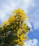 Filiale del mimosa Fotografia Stock