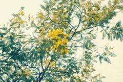 Filiale del Mimosa con i fiori gialli Fotografia Stock
