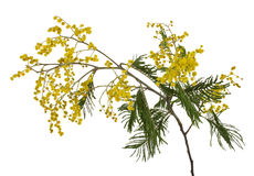 Filiale del mimosa del primo piano Immagine Stock Libera da Diritti
