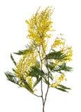 Filiale del mimosa del primo piano Fotografia Stock