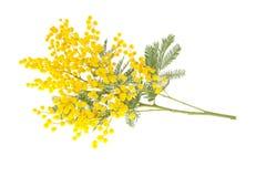 Filiale del Mimosa isolata su bianco Fotografia Stock