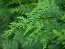 Filiale del pino Fotografia Stock
