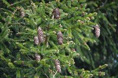 Filiale del pino con i coni Immagini Stock