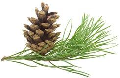 Filiale del pino con il cono Immagini Stock Libere da Diritti