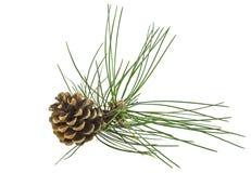 Filiale del pino con il cono Fotografia Stock