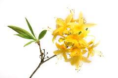 filiale del rododendro Fotografia Stock