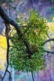 Filiale del vischio Fotografia Stock
