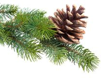 Filiale dell'abete con il cono del pino fotografia stock libera da diritti