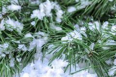 Filiale dell'abete su neve Fotografie Stock