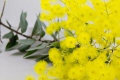 Filiale dell'acacia dorata di Syney Fotografia Stock