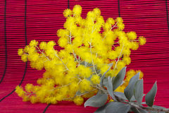 Filiale dell'acacia dorata di Syney Fotografie Stock