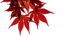 Filiale dell'acero rosso isolata su bianco Immagine Stock Libera da Diritti