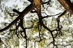 Filiale dell'albero Fotografie Stock