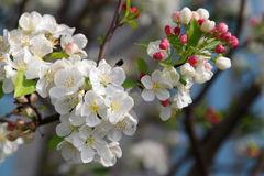 Filiale dell'albero di fioritura Immagini Stock