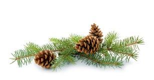 Filiale dell'albero di Natale con i coni immagini stock libere da diritti