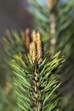 Filiale dell'albero di pino Fotografie Stock Libere da Diritti