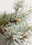 Filiale dell'albero di pino Fotografia Stock Libera da Diritti