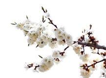 Filiale dell'albicocca fotografia stock libera da diritti