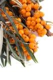 Filiale dell'olivello spinoso Fotografia Stock