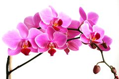 Filiale dell'orchidea dentellare Fotografia Stock