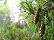 filiale dell'Pelliccia-albero Fotografia Stock Libera da Diritti