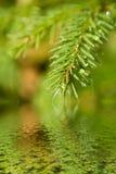 filiale dell'Pelliccia-albero con le gocce Fotografia Stock Libera da Diritti