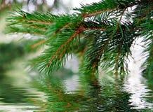 Filiale dell'pino-albero Fotografia Stock Libera da Diritti