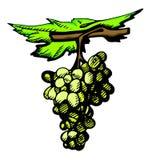 Filiale dell'uva Fotografia Stock