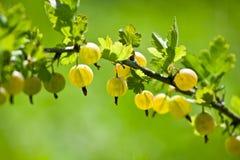 Filiale dell'uva spina Fotografia Stock