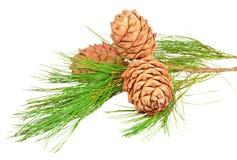 Filiale della conifera con i coni del pino Immagine Stock